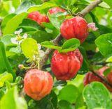 acerola ovocie