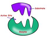 tráviace enzýmy